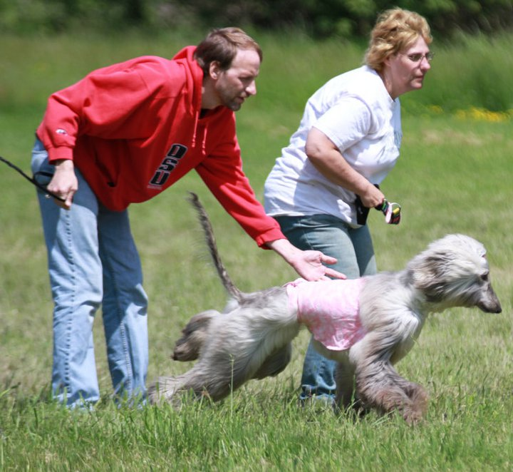 Cavalier Afghan Hounds - Lure Coursing Afghan Hound Lure Coursing